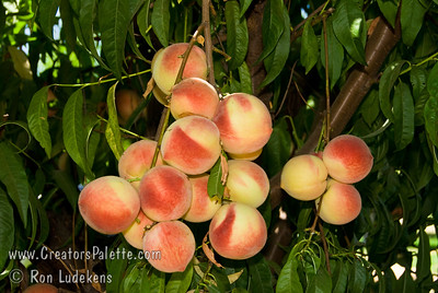 Champagne Peach (Prunus persica) Medium to large. Round fruit with a light reddish blush and light pubescence. Clear white flesh with attractive red at pit. Smooth, melting texture; fine sweet flavor, well balanced. Flavor quality is excellent when picked firm ripe and held at room temperature 3 to 4 days. Very productive tree. Ripens: Mid-August. 650 hours chilling.