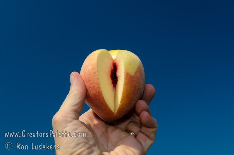 Champagne Peach (Prunus persica)<br /> Medium to large. Round fruit with a light reddish blush and light pubescence. Clear white flesh with attractive red at pit. Smooth, melting texture; fine sweet flavor, well balanced. Flavor quality is excellent when picked firm ripe and held at room temperature 3 to 4 days. Very productive tree. Ripens: Mid-August. 650 hours chilling.