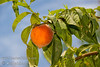 Crimson Rocket Columnar Peach (Prunus persica 'KV930455')<br /> Unique narrow, columnar form makes this peach tree ideal for smaller yards and narrow spaces.  Fruit is dessert quality, yellow with melting flesh.  Skin about 80% red blush over yellow.  Ripens Early to Mid July. 800 hours chilling.