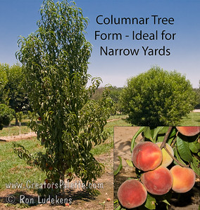 Crimson Rocket Columnar Peach (Prunus persica 'KV930455') Unique narrow, columnar form makes this peach tree ideal for smaller yards and narrow spaces.  Fruit is dessert quality, yellow with melting flesh.  Skin about 80% red blush over yellow.  Ripens Early to Mid July. 800 hours chilling.