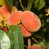 "Donut Peach (Stark Saturn)(Saucer, Peento, Pen Tao) - Prunus persica sp.<br /> An unusual and very hardy, somewhat flattened, peach.  About 2 1/2"" in diameter.  Freestone with a very sweet, mild, white flesh.  The hardiness level is similar to Reliance Peach.  Good for hot summer areas as well.  Ripens: Late June to Early July with Red Haven.  450 Hours chilling."