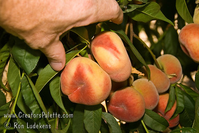 """Donut Peach (Stark Saturn)(Saucer, Peento, Pen Tao) - Prunus persica sp. An unusual and very hardy, somewhat flattened, peach.  About 2 1/2"""" in diameter.  Freestone with a very sweet, mild, white flesh.  The hardiness level is similar to Reliance Peach.  Good for hot summer areas as well.  Ripens: Late June to Early July with Red Haven.  450 Hours chilling."""