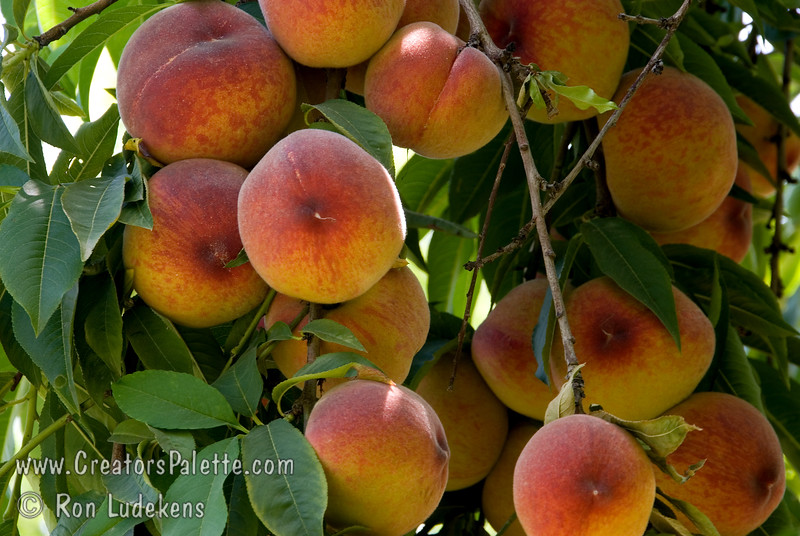 Earligrande Peach - Prunus persica<br /> An excellent early, mild winter (low chill) peach.  Medium to large.  Yellow skin with a red blush.  Firm, excellent flavor.  Fine texture, yellow flesh.  Semi-freestone.  Heavy producer.  Good for hot summer areas as well.  Ripens: Late april to Late May.