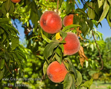 Earligrande Peach - Prunus persica An excellent early, mild winter (low chill) peach.  Medium to large.  Yellow skin with a red blush.  Firm, excellent flavor.  Fine texture, yellow flesh.  Semi-freestone.  Heavy producer.  Good for hot summer areas as well.  Ripens: Late april to Late May.
