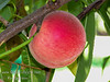 Feicheng Tao Peach (Prunus persica sp.)<br /> White fleshed peach similar to Babcock except stronger aroma and firmer flesh.  Red cheeked skin.  Sweet, juicy flesh.  Firmer flesh allows for longer storage.  Heavy bearer.  Self Fertile.  Freestone. From the Shandong Province of China. Requires 450 hours chilling below 45º F. Cold hardy to U.S.D.A.  Zone 8.