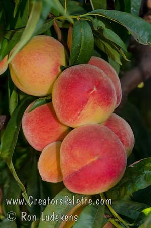 Feicheng Tao Peach fruit cluster
