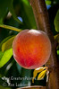 Flordaking Peach (Prunus persica)<br /> Sweet, quality flavor and large size for an early season peach.  From Florida, bred specially for lower chill winters and resistant to Bacterial Leaf Spot.  Melting flesh.  50% red over yellow skin, yellow flesh. Self Fertile.  Semi-Freestone.  Ripens: Mid to late May.  Requires 350 hours chilling below 45º F.<br /> <br /> Cold hardy to U.S.D.A.  Zone 8.