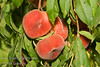 "Galaxy Peach - Prunus persica sp.<br /> Nicknamed ""Bagel Peach"" for its shape and size.  Sweet tasting, white fleshed peach with an amusing, flat shape - looking something like a bagel.  Delightful, delicate aroma; light-cream skin accented with red blush.  Similar to Donut/Saturn Peach except larger.  Ripens: Late June."