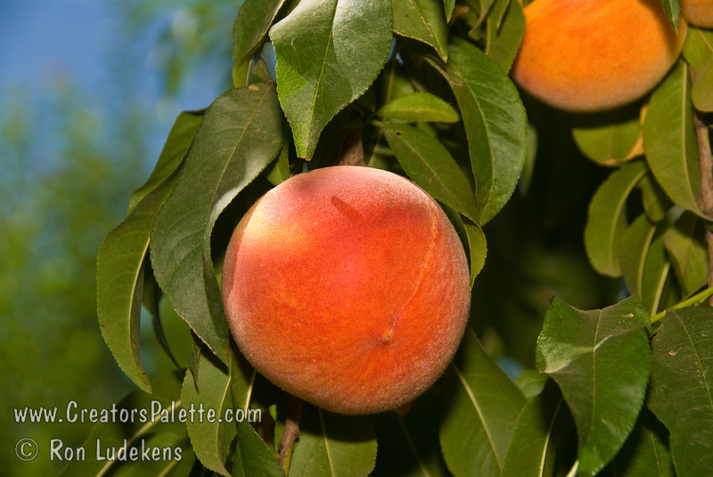Harvester Peach (Prunus persica sp.)<br /> Medium to large.  Bright red skin evenly blushed over yellow.  Fine texture, acidic, good quality, yellow flesh.  Uniform ripening.  Resistant to bacterial leaf spot.  Requires 750 hours of chill below 45º F.  Ripens: Late June.   Cold hardy to U.S.D.A.  Zone 7.