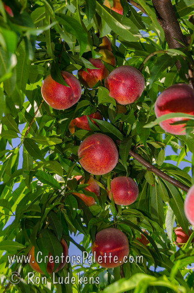 Island Prince Peach (Prunus persica)<br /> One of the best flavored early ripening peaches.  An early ripening, yellow, cling peach with exceptional sweet-tart peach flavor.  Burgundy-red over yellow skin.  Round.  Self-fertile.  Ripening around May 8-14 in Kingsburg, CA.  Medium to large size - large for an early season peach.