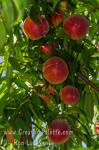 Island Prince Peach (Prunus persica) One of the best flavored early ripening peaches.  An early ripening, yellow, cling peach with exceptional sweet-tart peach flavor.  Burgundy-red over yellow skin.  Round.  Self-fertile.  Ripening around May 8-14 in Kingsburg, CA.  Medium to large size - large for an early season peach.