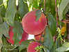 John Fanick Peach - Prunus persica 'Fanick'<br /> Large, freestone, yellow fleshed fruit.  Excellent flavor. 80% red blush over yellow skin. Heavy, consistent producer.<br /> Attractive spring bloom.  Came from seedling of La Feliciana.<br /> Ripens Mid to Late July. Requires 450-500 hours chilling below 45º F.<br /> Cold hardy to U.S.D.A. Zone 7.<br /> This new peach selection is from Fanick's Nursery in San Antonio Texas and named after the renowned nurseryman who gave so much to this industry.