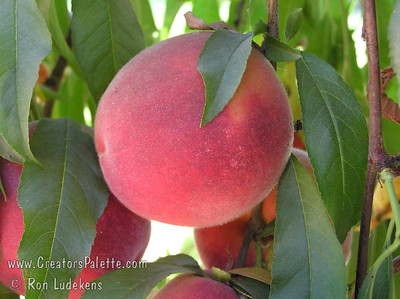 John Fanick Peach