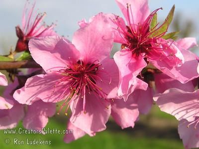 John Fanick Peach Spring Bloom