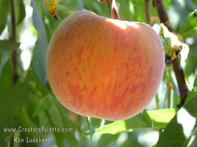 La Feliciana Peach (Prunus persica) Great peach for mild winter areas.  Medium to large, round.  Dark red blush on skin.  Firm, excellent texture and sweet, tangy flavor.  Yellow with red flecks in flesh.  Very heavy producer.  Tolerant to bacteriosis and brown rot.  Ripens: Late June to Early July.