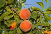Long Beach Peach - Prunus persica<br /> A new, excellent peach for low chill climates.  Medium to large, skin colorful red over yellow.  Yellow flesh, red at pit.  Firm, sweet and juicy.  Freestone.  Heavy production without need of a pollinizer.  Ripens: Late May to early June.  From a chance seedling found in Long Beach, CA area.  Requires approximately 200 hours chilling.