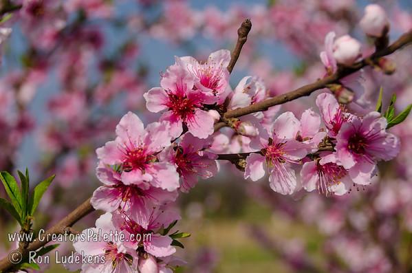 Peachy Keen® Peach Bloom