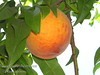 Ranger Peach - Prunus persica sp.<br /> Large fruit.  Bright, highly colored red skin.  Sweet, yellow flesh. Freestone. Heavy producer. <br /> Late blooming makes it good for cold climates. Ripens: Early July, one week after Redhaven. Self Fertile.  Requires 950 hours of chill below 45º F. Cold hardy to U.S.D.A.  Zone 5.