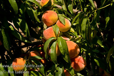 Reliance Peach (Prunus persica sp.) Known for its cold hardiness. Developed in New Hampshire, this tree produces a heavy crop of fruit as far north as Canada. Medium to large size, red blush over golden yellow.  Sweet, mild flavor. Beautiful pink flowers in spring.  Self Fertile.  Freestone.  Ripens: Late June in Central Calif. but late July to Early August in the north.  Requires