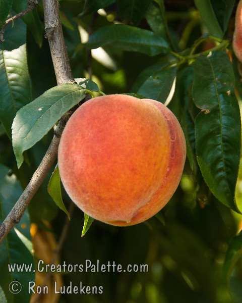 Santa Barbara Peach (Prunus persica sp.)<br /> This is my favorite peach and one I hope everyone gets to taste some day!  It combines the sweetness of a Babcock or Belle of Georgia with the explosive flavor of an Elberta or Rio Oso Gem.  Large peach with yellow skin and red blush.  Yellow fleshed freestone with red near the pit.  Flesh is fine texture and melting.  This is a freah eating fruit.  Its soft texture will not hold up to storage, shipping or baking.  Pointed in shape similar to Elberta.  It is a sport from Ventura and great for mild climates - requiring only 300 hours chilling.  Ripens early to mid-July (around July 4th in our climate).  A delight to eat!