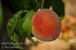 Tropi-Berta Peach (Prunus persica)