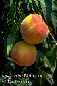 Ventura Peach (Prunus persica) An excellent low chill peach that bears very well in mild winter and coastal areas.  Medium-large.  Red blushed skin.  Golden yellow flesh with sweet, mild flavor.  Freestone.  Requires 400-500  hours of chill below 45ºF. Ripens  Early July.  Cold hardy to U.S.D.A.  Zone 8.