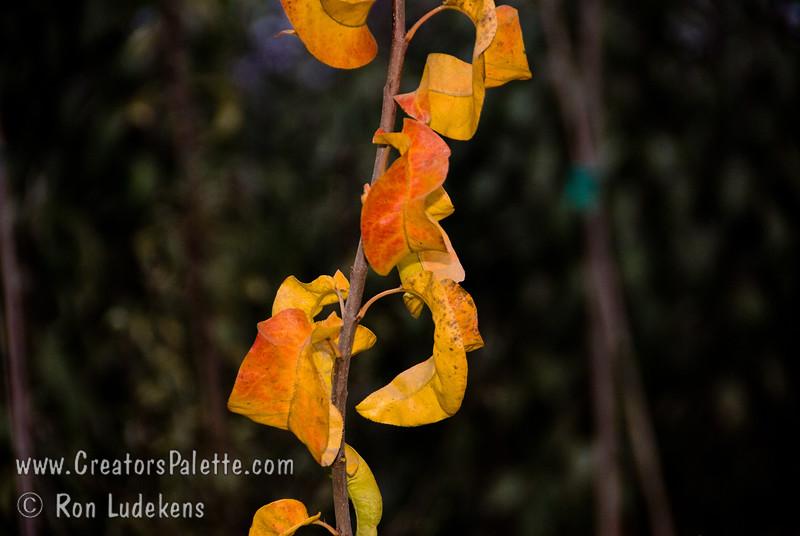 Hosui Pear (Pyrus pyrifolia)<br /> Fall Color of foliage.