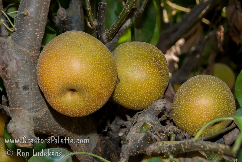 Hosui Pear (Pyrus pyrifolia)<br /> Consistent taste test winner! Medium to large. Golden russeted skin. Sweet, juicy, flavorful, fine textured flesh. Crisp and refreshing like an apple. Good keeper. Ripens: Early through Late August, 25 day range. Stores through November.  450 chilling hours required.