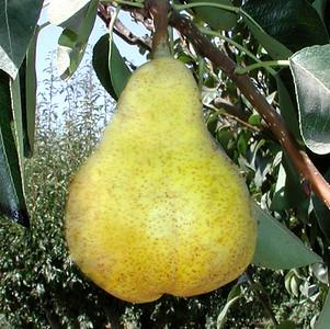Bartlett Pear 2 adj