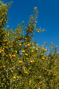 Bartlett Pear trees getting close to harvest time.  Photo from Potters Valley, California