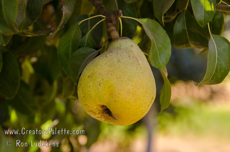 Beurre D'Anjou Pear (Pyrus communis)<br /> Buttery texture does justice to its French name.  Large.  Short neck.  Green skin with yellow blush.  White, fine flavored flesh.  Good as fresh fruit.  Pollinized by Bartlett or other pears.  Ripens: September. Requires 700 hours chilling.