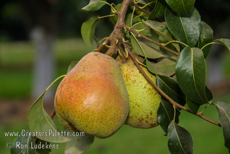 Grow these and put 'em in your own gift boxes.  Large, roundish. Green-yellow skin with red blush.  Rich, sweet, creamy flesh. Self fertile in the arid West but produces better when planted with Bartlett or other pears.  It is blight-resistant.  Requires 500-600 hours of chill below 45º F.  Ripens: August. Cold hardy to U.S.D.A. Zone 5.
