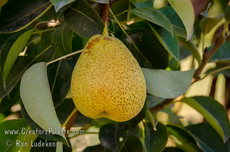 Crispie Pear (Pyrus communis X Pyrus pyrifolia)<br /> Fruit of this inter-specific pear hybrid are of medium size with a typical European pyriform shape and a light yellow, lemony background color. Fruit after four weeks storage and seven days shelf life developed a medium to strong Bartlett aroma and a strong European pear flavor. The flesh is crisp. Had an Asian texture at first and changed to more of a Bartlett texture with ripening. It is moderately to very juicy. Fruit needs to be picked and sold for fresh market.  This selection has good potential for the local fresh market but is not suitable for export. Very grower friendly, heavy crops, harvests just after Williams. In 2007, is a week ahead of Bartlett, has a narrow harvest window, crops heavy on first and second year, is fire blight susceptible, has a Bartlett flavor, is juicy and fine, the Bartlett flavor gets stronger as ripens.