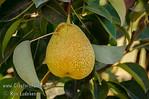 Crispie Pear™ (Pyrus communis X Pyrus pyrifolia)