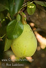 Fan-Cris™ Pear (Pyrus communis sp.)<br /> Excellent dessert pear.  Medium to large, bell shaped. Sweet creamy texture with a nice crunch when you bite in to it.  Somewhat more resistant to fireblight than many others. Very productive tree. Ripens: Late August into September.  Requires approximately 500 hours chilling below 45º F. Cold hardy to U.S.D.A.  Zone 6 and probably lower.  Discovered by Fanick's Nursery, San Antonio, TX