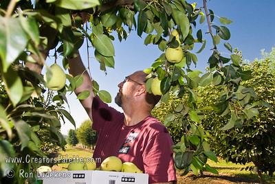 Salesman Lloyd Cassidy picking box of Fan-Cris Pear