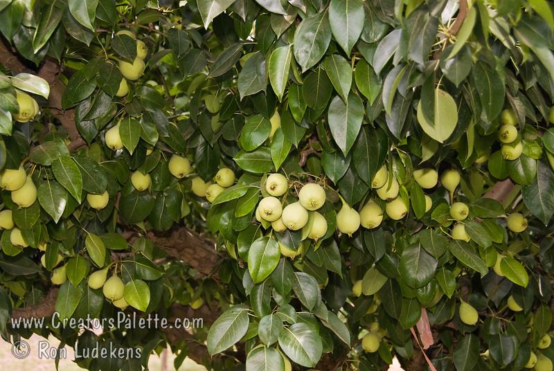 Image of Fan-Cris Pear showing loaded tree but not yet ripe.