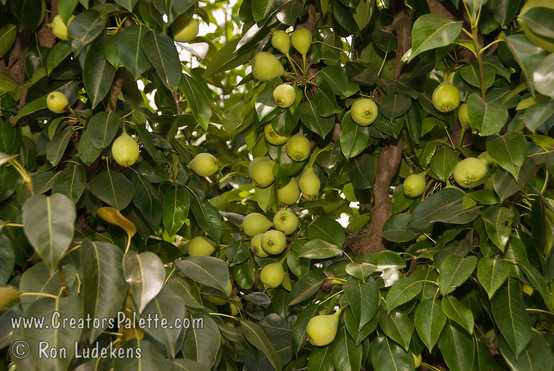 Image of Fan-Cris Pear showing loaded tree but not yet ripe.