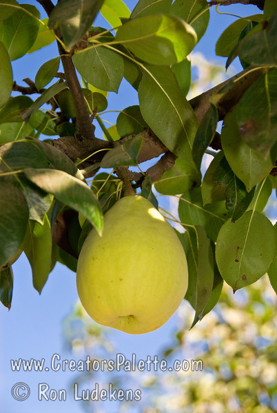 Fan-Stil® Pear (Pyrus communis)<br /> Medium size, with typical bell pear shape.  Creamy yellow skin with slight red blush. Crisp,  juicy white flesh. <br /> Self-fertile, bears consistently.  Most resistant to fireblight of the pears.  Ripens: Late August into September. Requires approximately 500 hours chilling below 45º F.  Cold hardy to U.S.D.A.  Zone 6 and probably lower.  Discovered by Fanick's Nursery, San Antonio, TX