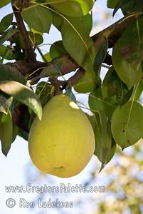 Fan-Stil Pear