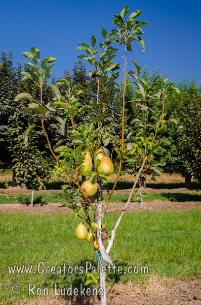 Pineapple Pear (Pyrus communis)<br /> These trees were planted 19 months ago - fruiting heavily early in life.