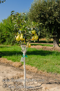 Pineapple Pear (Pyrus communis) These trees were planted 19 months ago - fruiting heavily early in life.