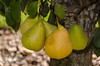 Pineapple Pear (Pyrus communis)<br /> Large. Russet colored skin. Pineapple flavored flesh. Early, large flowers<br /> and foliage. Usually sets fruit first year. Self-fertile but sets heavier if pollinated.<br /> Ripens: August. Fireblight resistant rating of 8 (Scale of 1-9) meaning it is very good.