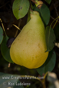 Pineapple Pear (Pyrus communis) Large. Russet colored skin. Pineapple flavored flesh. Early, large flowers and foliage. Usually sets fruit first year. Self-fertile but sets heavier if pollinated. Ripens: August. Fireblight resistant rating of 8 (Scale of 1-9) meaning it is very good.