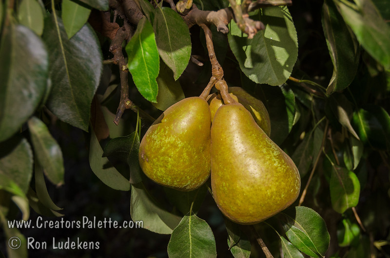 Surecrop Pear (Pyrus communis sp)<br /> Surecrop lives up to its name.  Large.  Yellow skin.  Firm, juicy white flesh.  Resembles Bartlett in looks and flavor.  Consistent bearer.  Prolonged, progressive blooming period ideal for late frost areas.   Very Fireblight resistant and cold hardy. Self Fertile.  Ripens: September. Requires 900 hours chilling below 45º F. Cold hardy to U.S.D.A.  Zone 5.