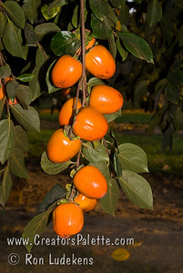 Chocolate Persimmon - Diospyros kaki Very tasty, sweet, brown flesh.  Non-astringent when fully ripe.  Medium to small, elongated fruit.  Orange skin.  Ripens Late October into Early November.