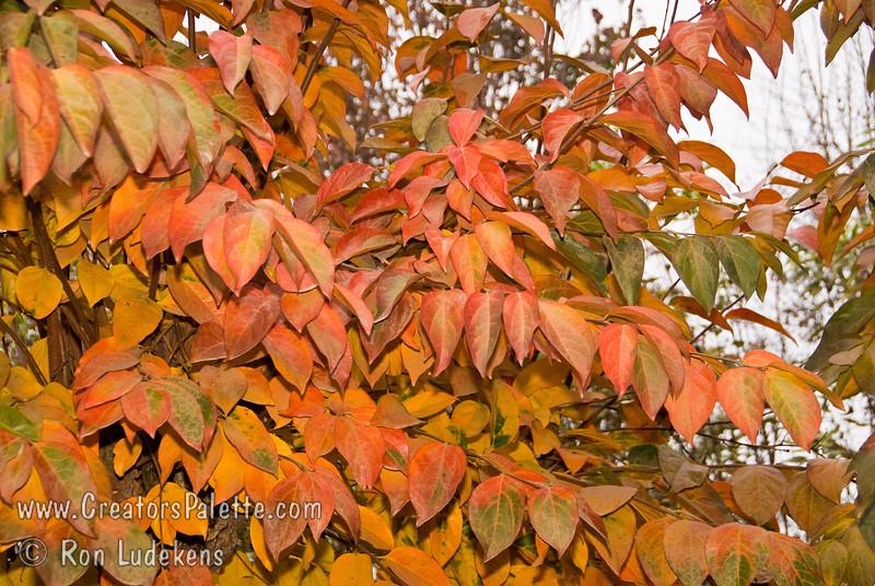 Chocolate Persimmon - Diospyros kaki<br /> Fall foliage color.