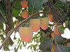 Chocolate Persimmon - Diospyros kaki<br /> Very tasty, sweet, brown flesh.  Non-astringent when fully ripe.  Medium to small, elongated fruit.  Orange skin.  Ripens Late October into Early November.<br /> These are not yet fully ripe.