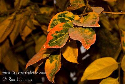 Chocolate Persimmon - Diospyros kaki Fall foliage color.