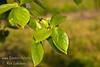 Chocolate Persimmon - Diospyros kaki<br /> New foliage of the Chocolate Persimmon